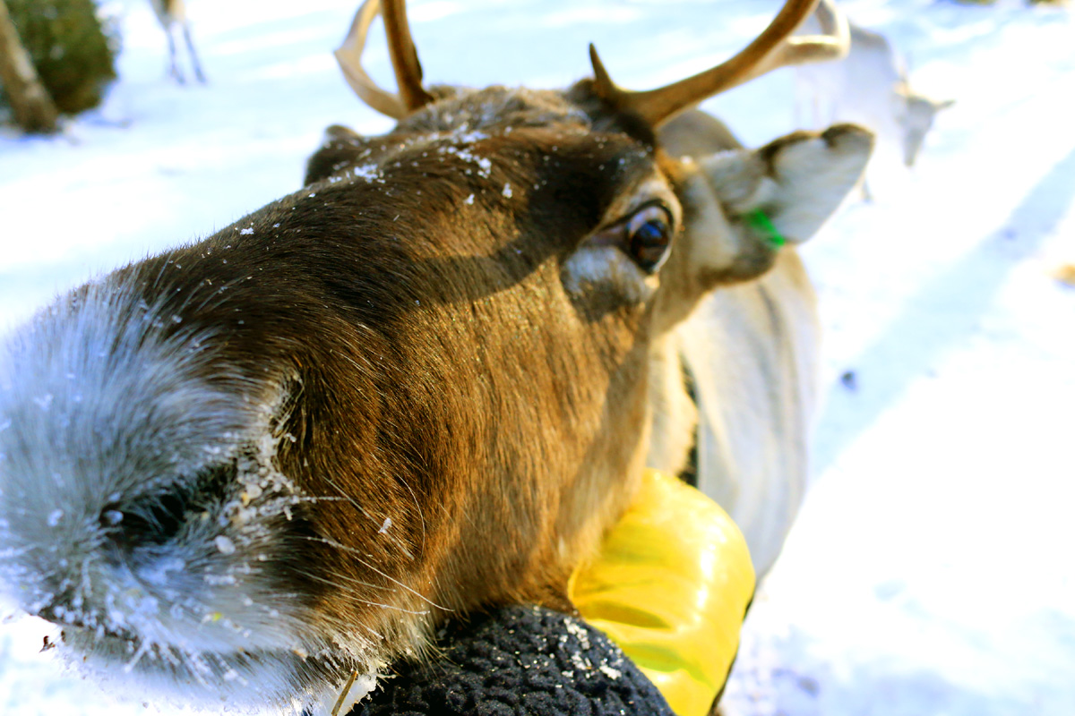 We have a friendly reindeer family living in Porokylä.